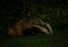Badgers in the garden