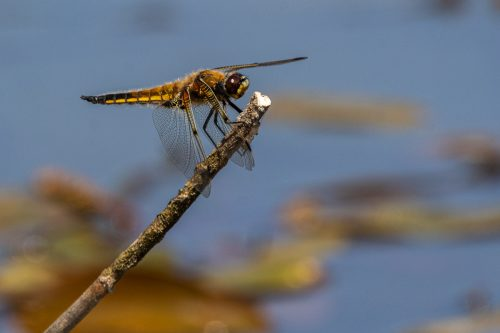 four spotted chaser 2