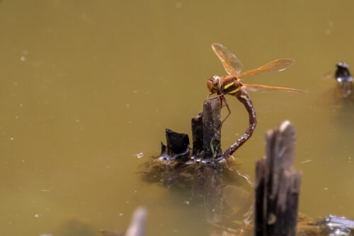 Brown hawker 2
