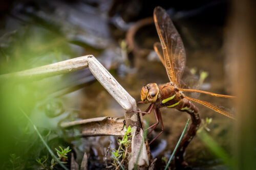 Brown hawker 3