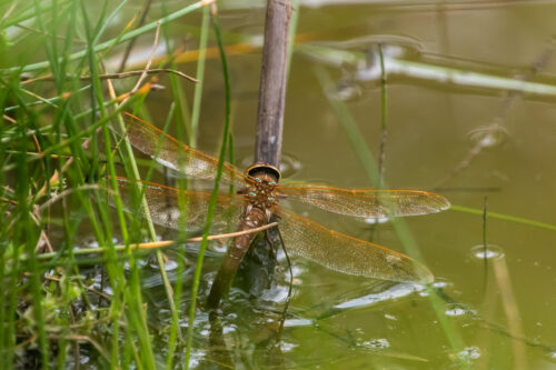 Brown hawker 4