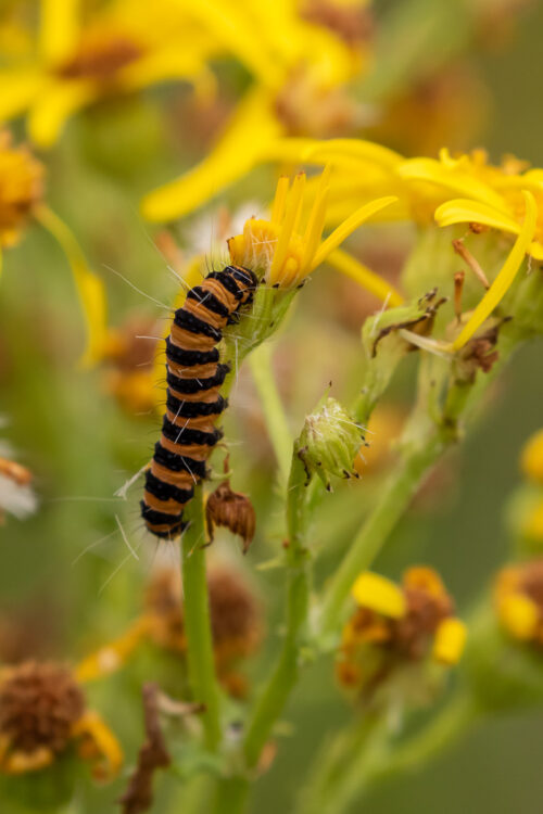 Cinnabar moth caterpillar 2