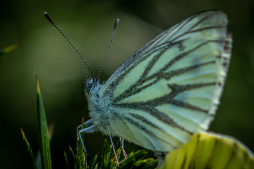 Green-veined white 2