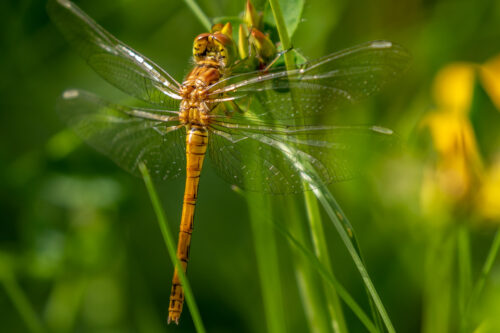 female common darter 2