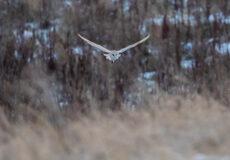 Kirkheaton's barn owl