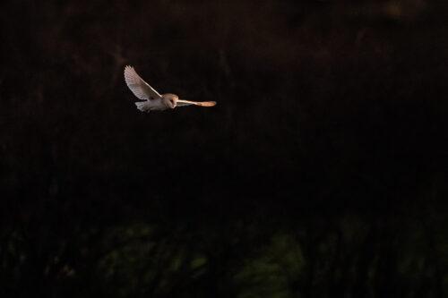 Kirkheaton barn owl