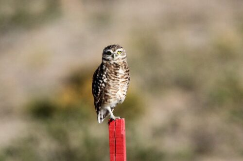 Burrowing owl (4)