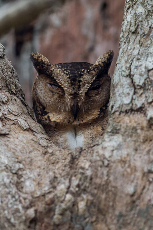 Indian Scop's owl