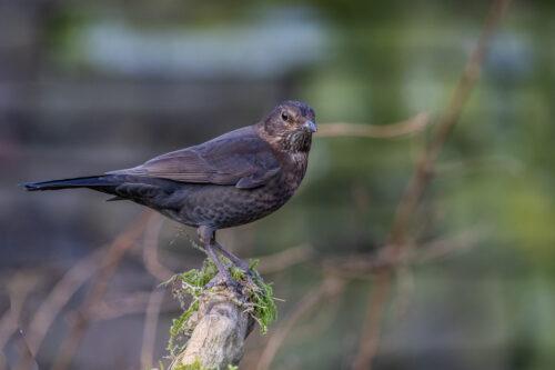 Blackbird f