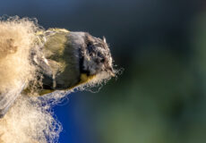 Blue tit in sheep's clothing