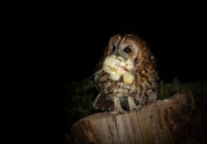 Our nesting tawny owls