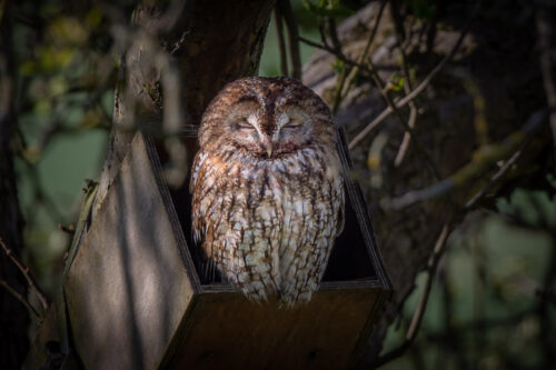 Female tawny owl