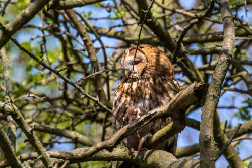 Tawny owl with weasel