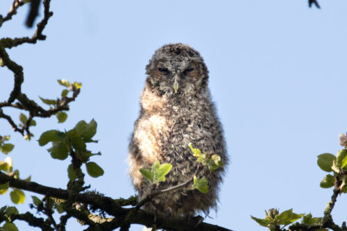 Tawny owlet