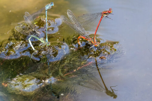 Azure and large red damselflies