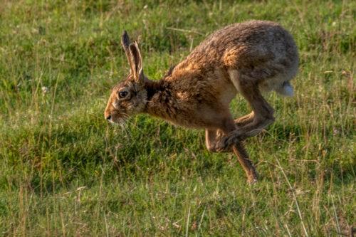 Bropwn hare 11