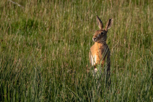 Brown hare 10