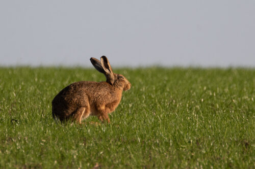 Brown hare 13