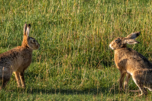 Brown hare 6