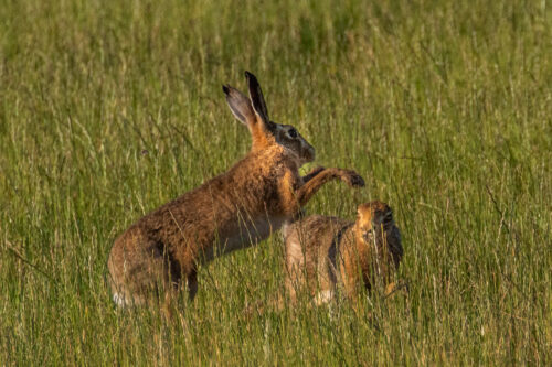 Brown hare 8