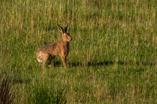 Brown hare 9