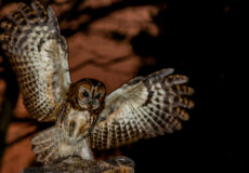 Our tawny owl update