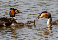 Feeding time for great crested grebes
