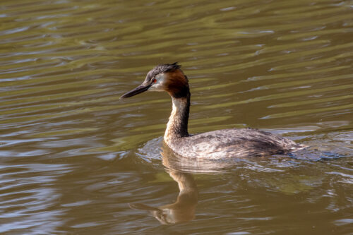 Great crested grebe 7