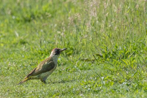 Green woodpecker 4