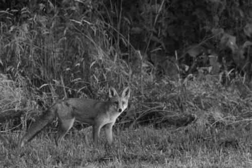 Red fox B&W