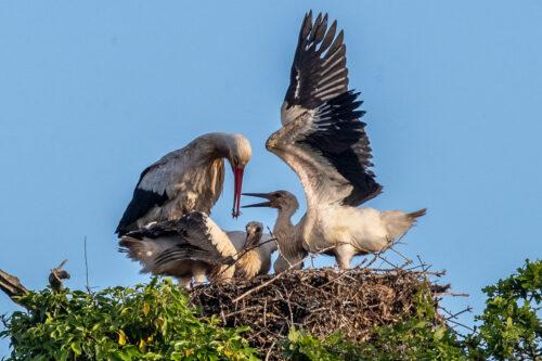 White storks 2