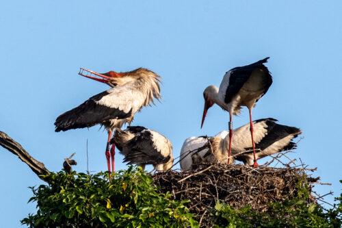 White storks 4