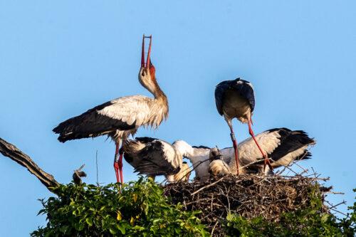 White storks 5